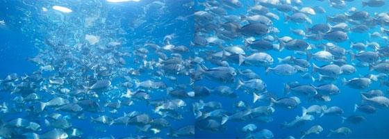 サビキ釣りでやっかいなネンブツダイ~フカセ釣りのエサ取り対策とは?